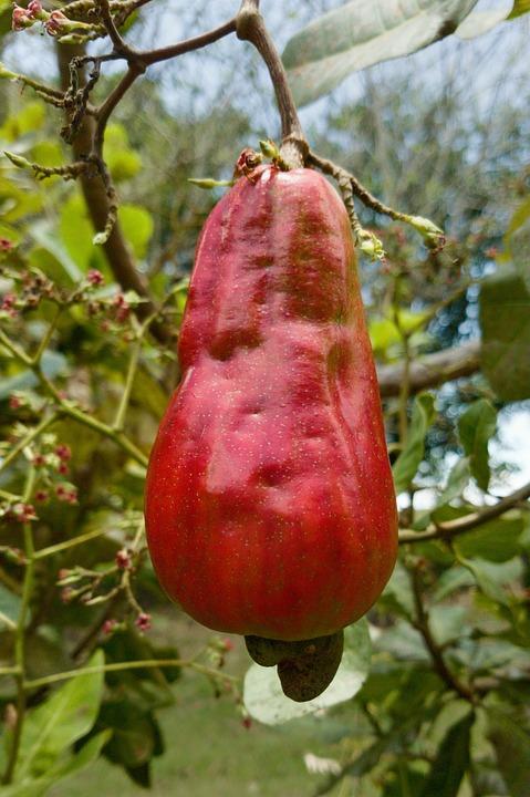 Red, Cashew, Fruit, Garden, Nature, Food, Flora, Tree