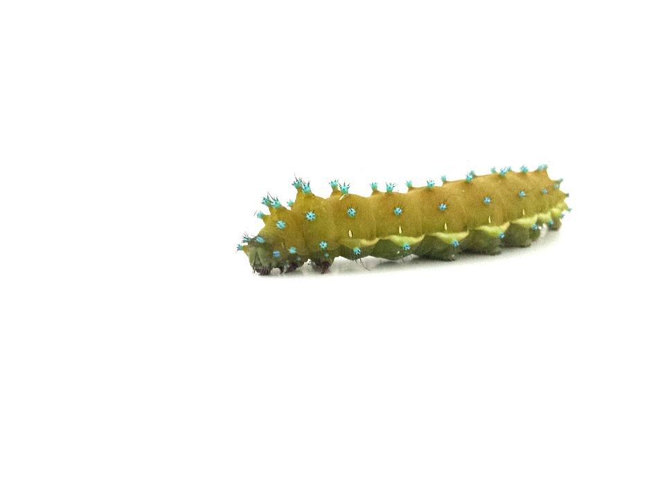 Caterpillar, Nature, Isolated, Animal, Insect, Macro
