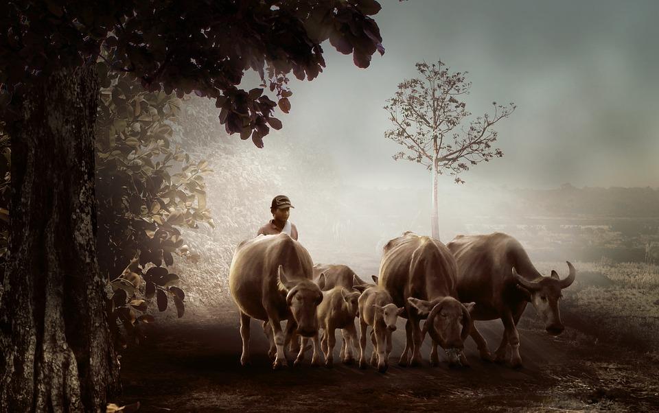 Man, Village, Shepherd, Buffalo, Nature, Cattle, Farmer