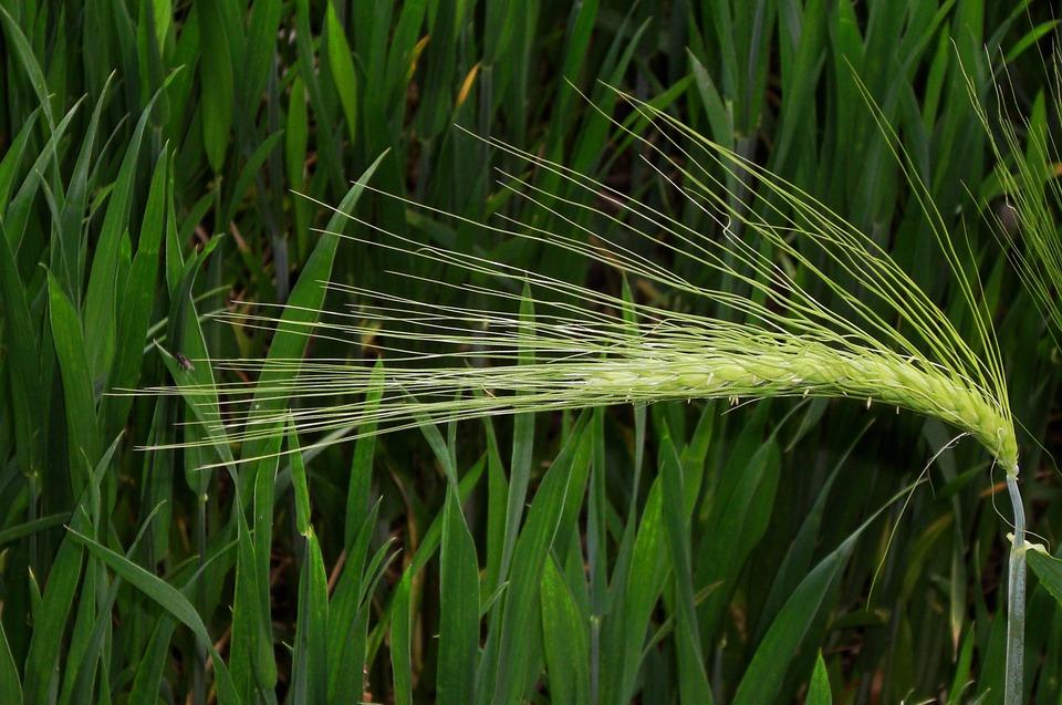 Ear, Green, Nature, Cereals, Grain