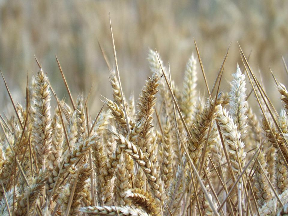 Fields, Cereals, Spike, Harvest, Nature, Agriculture