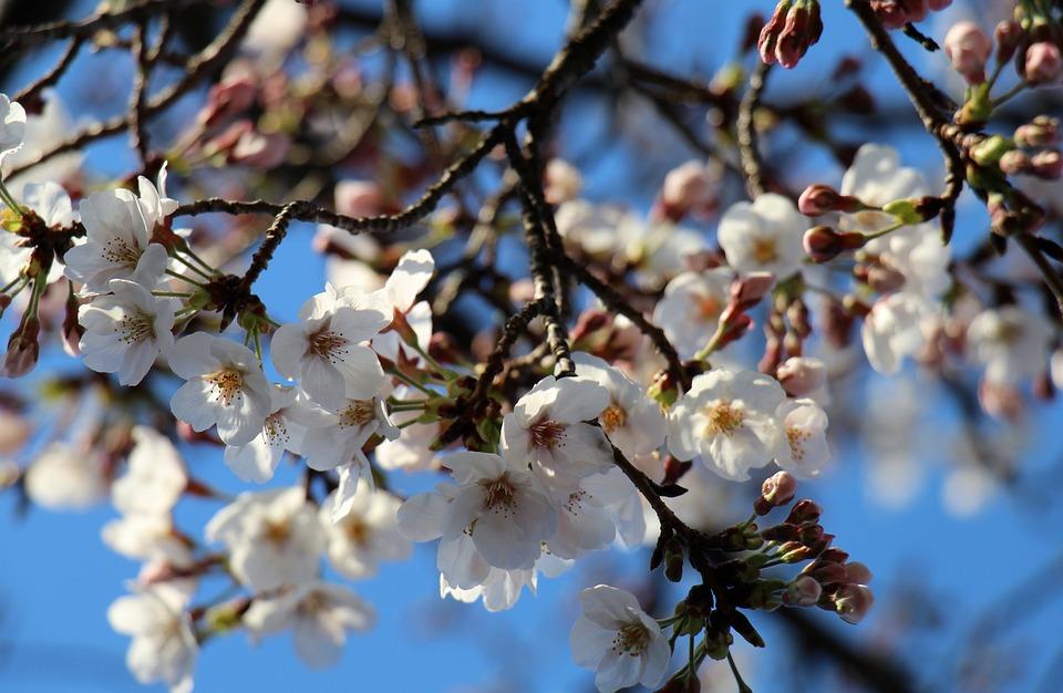 Cherry Blossom, Flowers, Spring, White, Nature