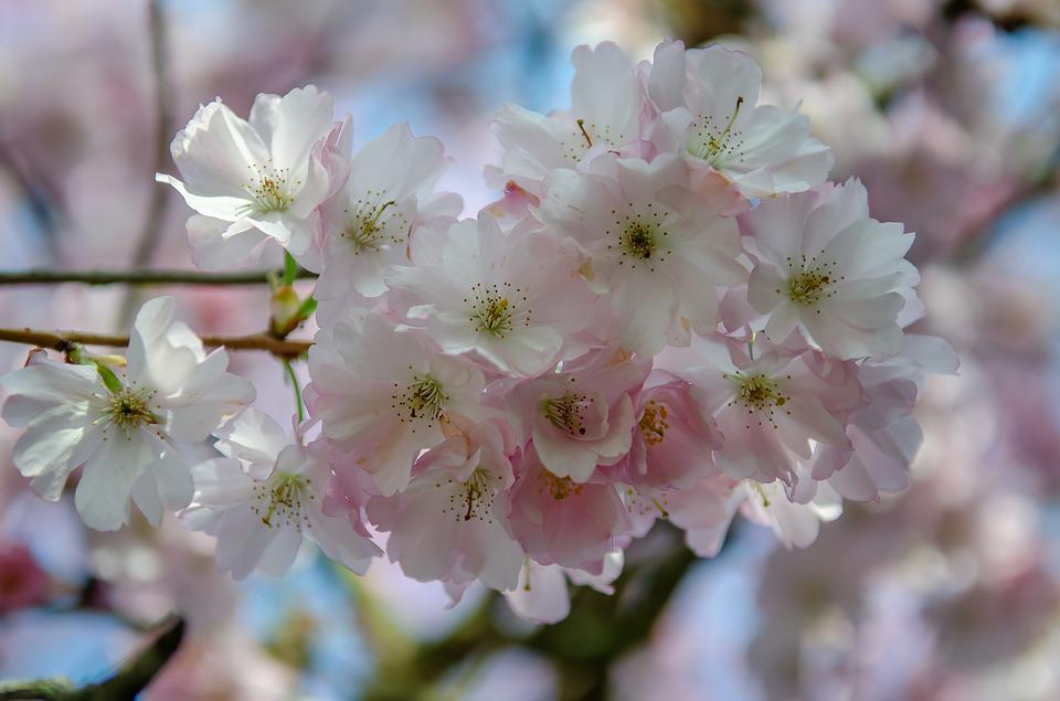 Tree, Flower, Spring, Cherry, Japanese, Pink, Nature