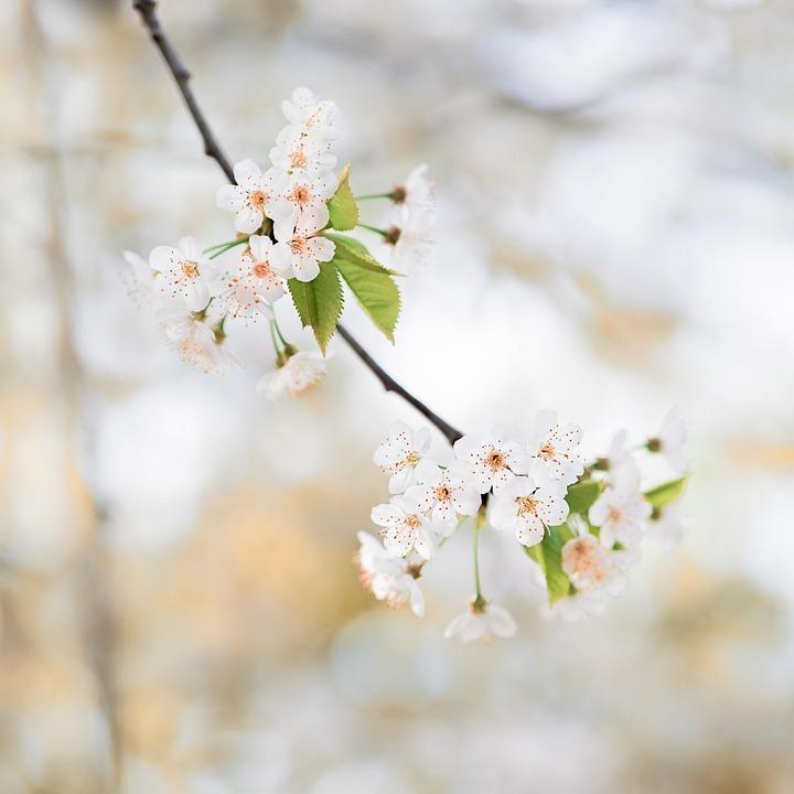 Nature, Cherry Wood, Flower, Tree, Branch, Flowers