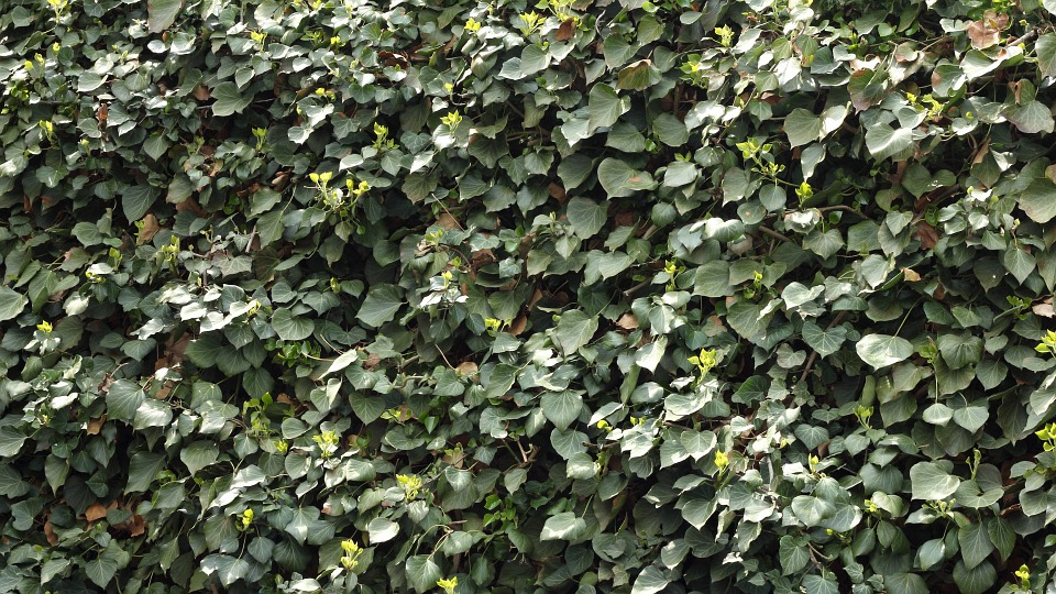 Ivy, Climber, Leaf, Green, Nature, Hedge