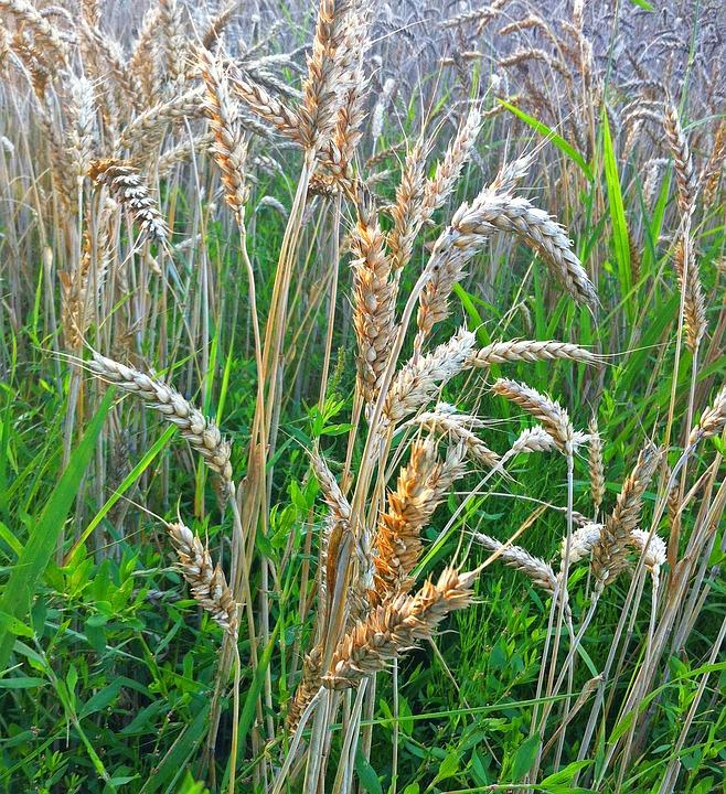 Grass, Halme, Blades Of Grass, Nature, Close