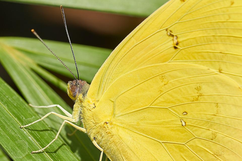 Butterfly, Yellow, Nature, Insect, Animal, Close