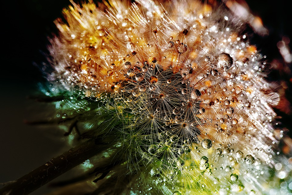 Dandelion, Dewdrop, Flower, Close, Nature, Macro