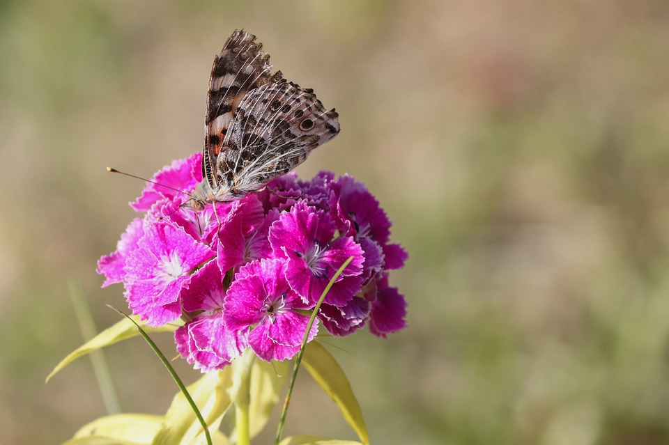 Vanessa Cardui, Butterfly, Nature, Insect, Close Up