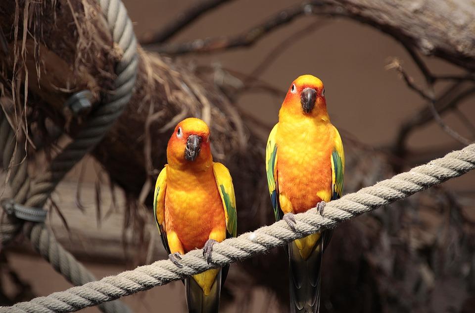 Sun Parakeet, Animal, Nature, Bird, Close Up, Wing