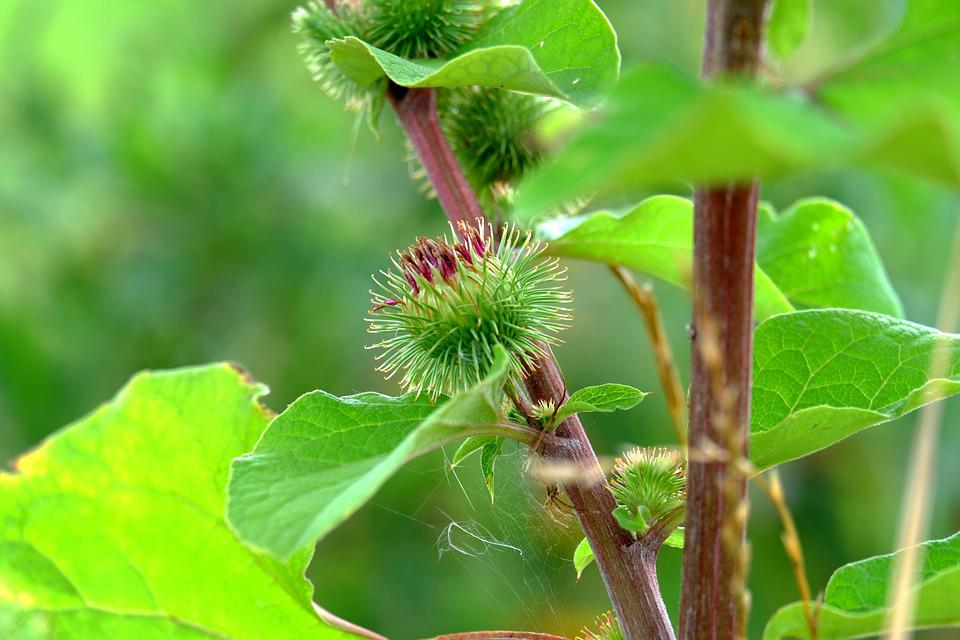 Burdock, Velcro Plant, Plant, Green, Nature, Close