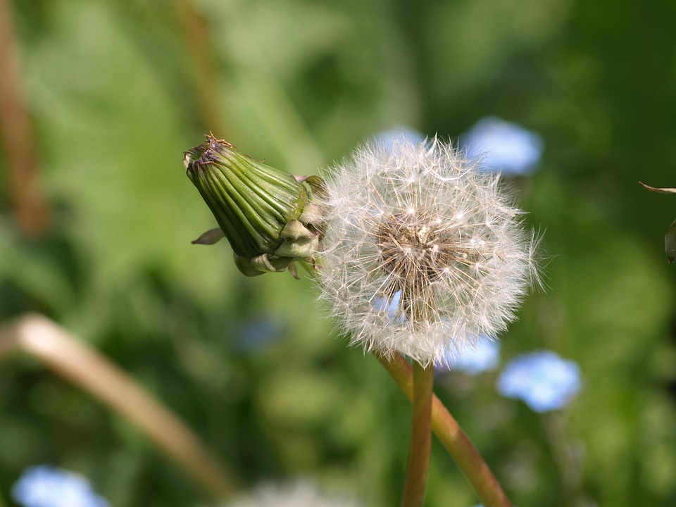 Dandelion, Bud, Plant, Pointed Flower, Nature, Closed