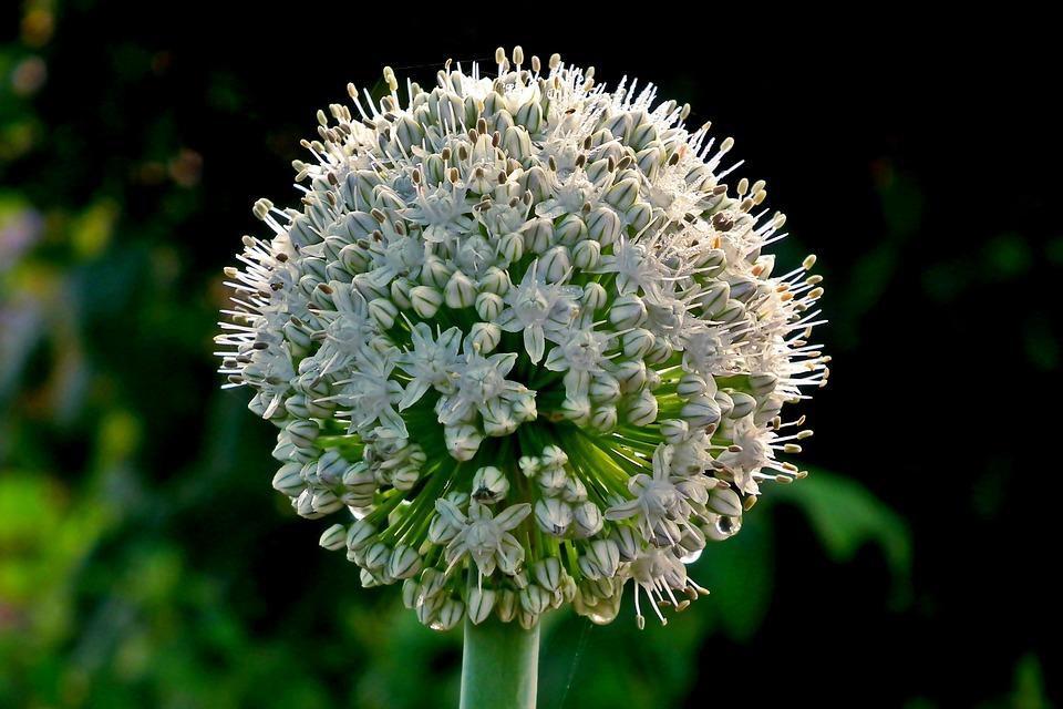 Plant, Garden, Nature, Closeup, Summer, Flowers