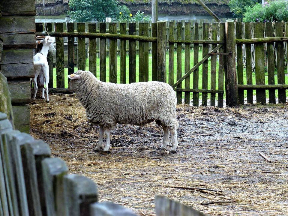 Closing, Nature, Outdoor, Lawn, Sheep, Farm, Breeding