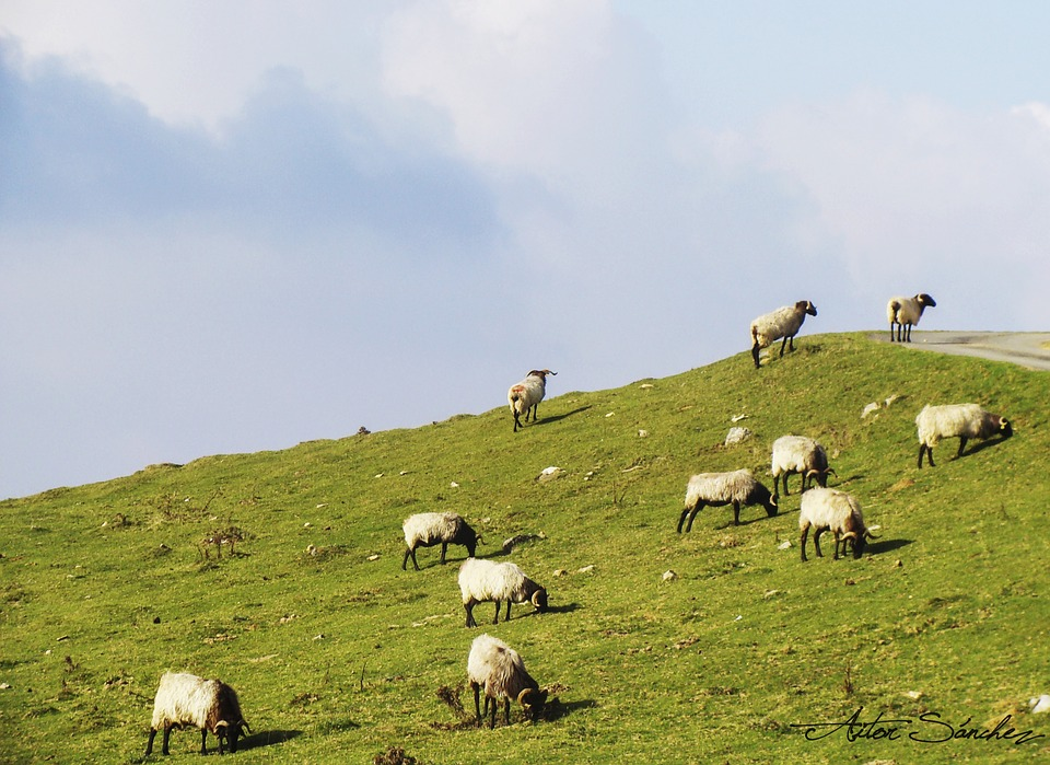 Sheep, Pyrenees, Grass, Pasturage, Clouds, Eat, Nature