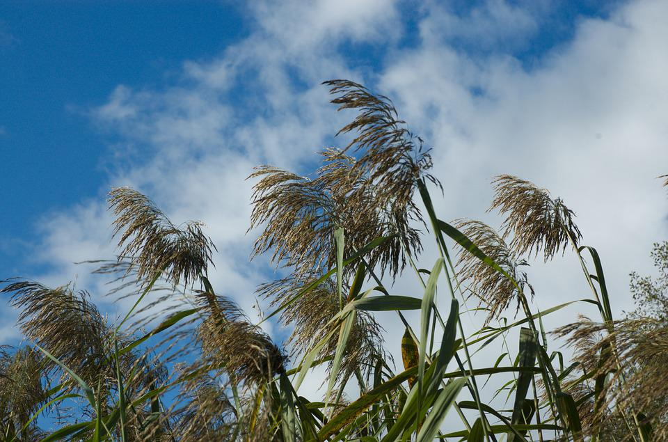 Reed, Clouds, Sky, Nature, Wind