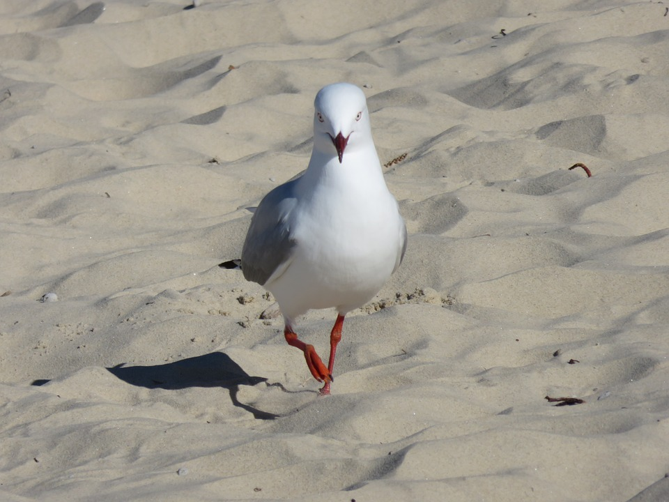 Seagull, Beach, Bird, Summer, Nature, Coast, Sand