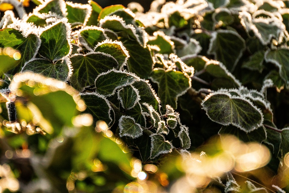 Ivy, Frost, Backlighting, Nature, Winter, Frozen, Cold
