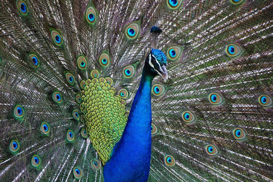Peacock, Bird, Animal, Colorful, Nature, Color, Vibrant