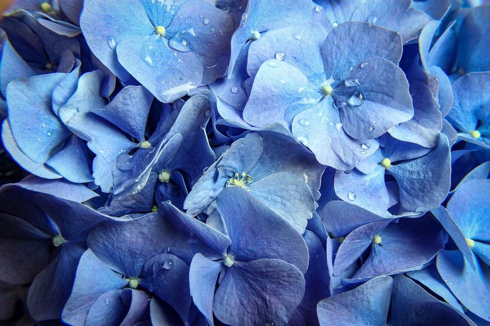 Flower, Nature, Garden, Flora, Color, Blue, Natural