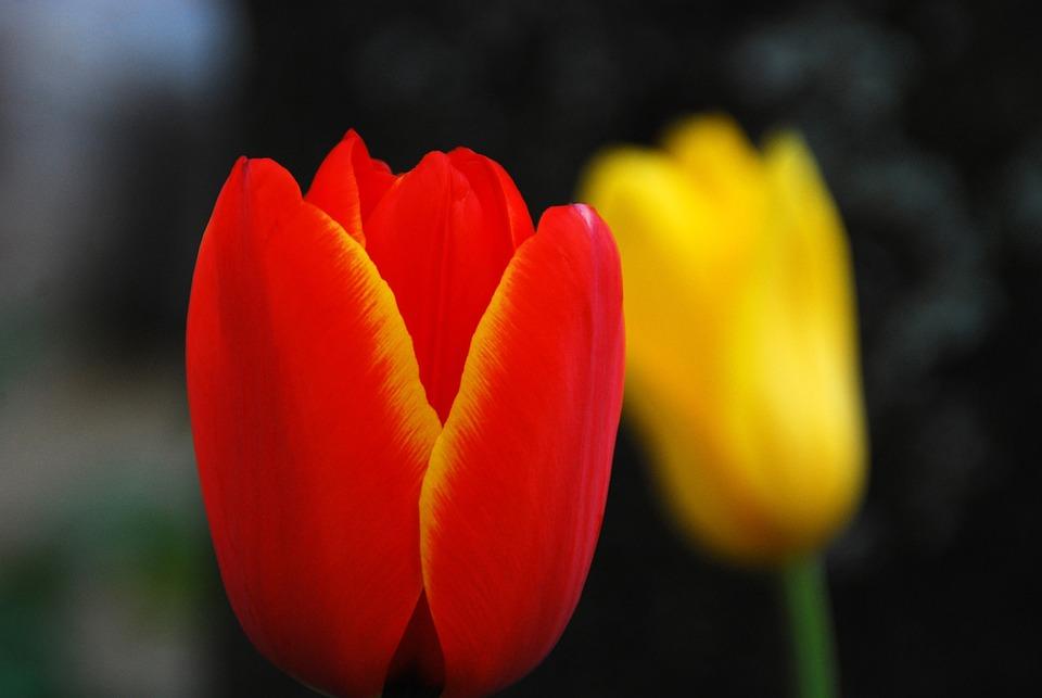 Tulip, Flower, Nature, Floral, Natural, Color, Red