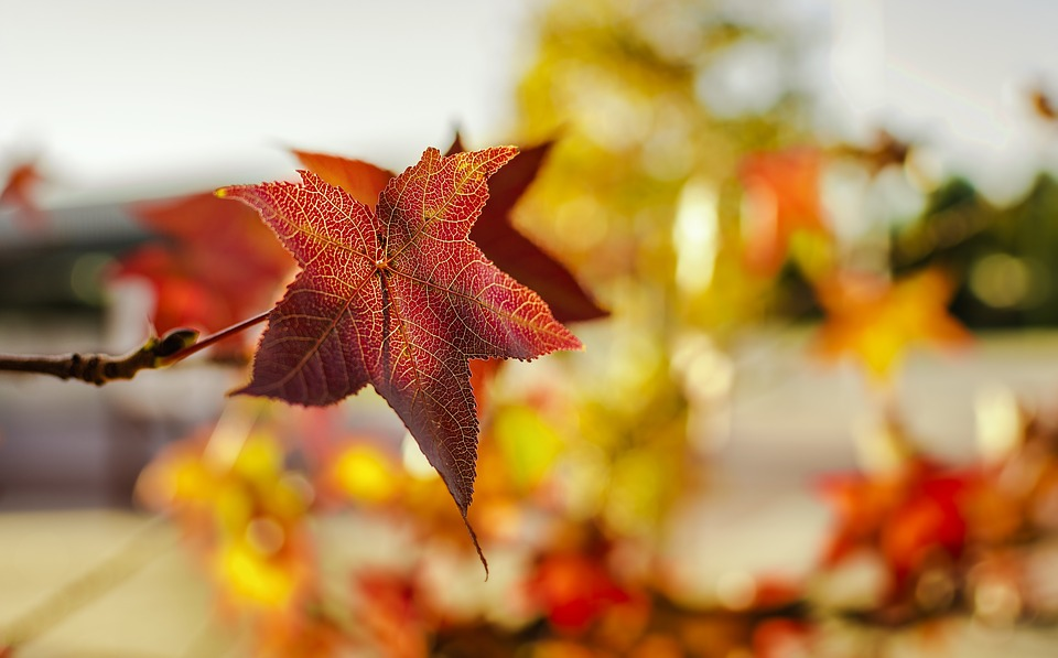 Autumn, Leaf, Maple Tree, Nature, Season, Vivid, Color