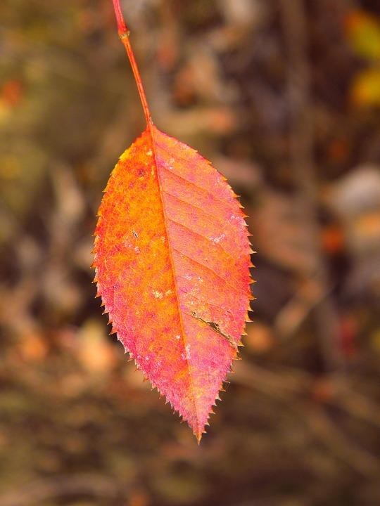 Leaf, Fall, Nature, Flora, Maple, Season, Tree, Color