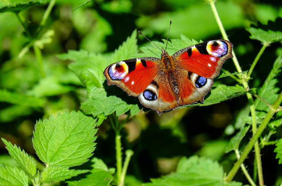 Peacock Butterfly, Butterfly, Insect, Colorful, Nature