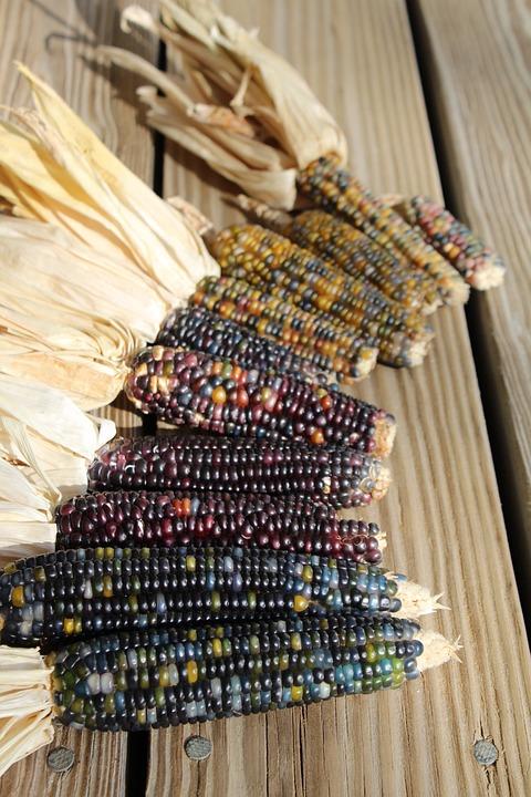 Corn, Harvest, Colors, Nature, Agriculture