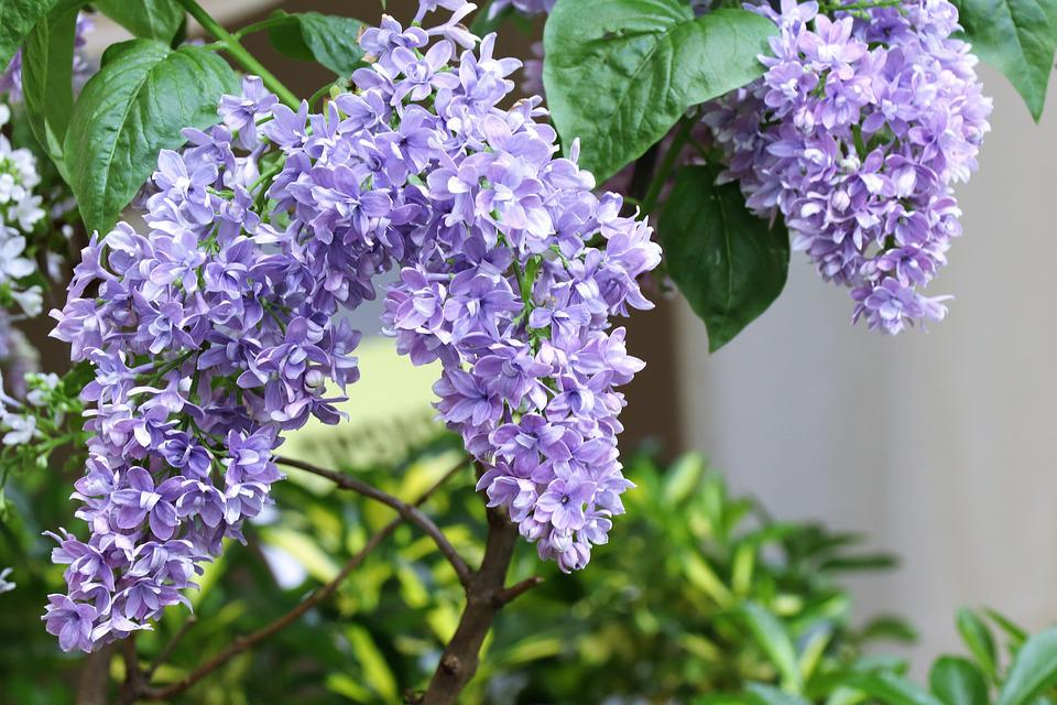 Lilac, Spring, Bloom, Nature, Flowers, Congratulation