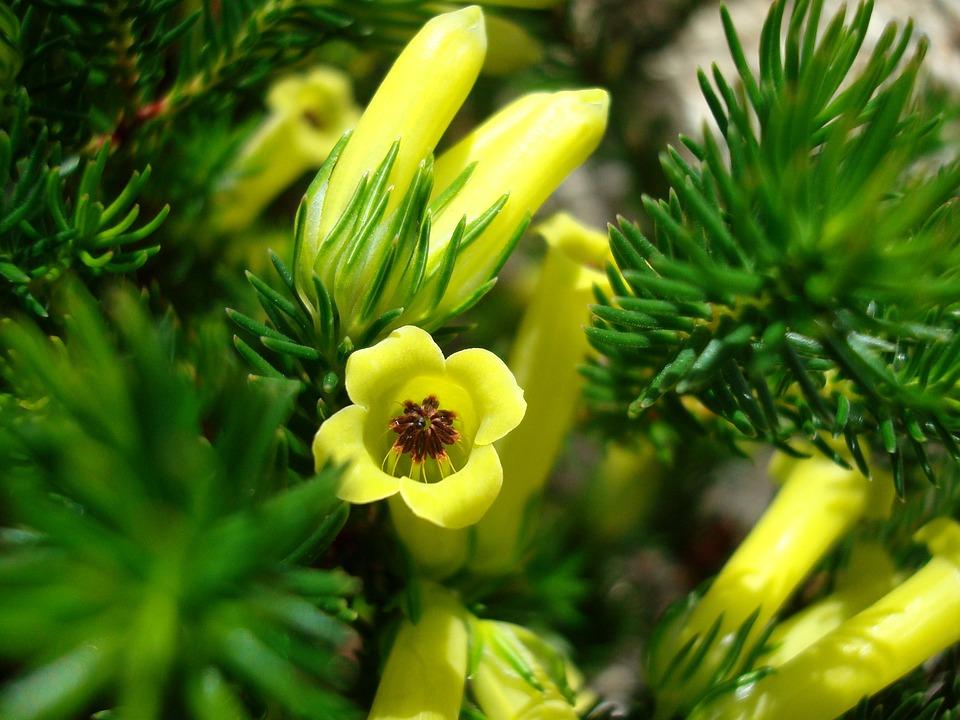 Flower, Conifer, Nature, Evergreen, Botany, Bloom