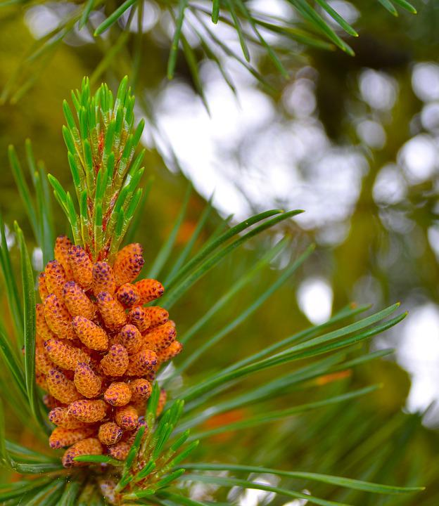 Pine, Tree, Nature, Forest, Evergreen, Conifer