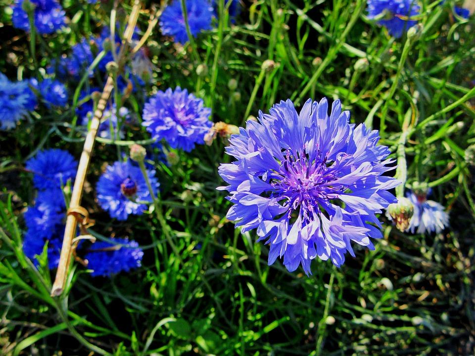 Cornflower, Blue Flower, Cornflowers, Blue, Nature