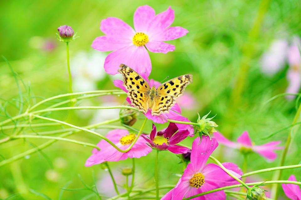 Cosmos, Butterfly, Flower, Nature, Beautiful, Flowers