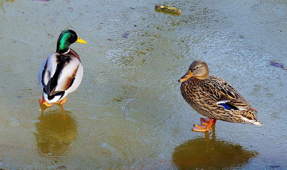 Pair Of Ducks, Ice, Couple, Pond, Nature, Ducks