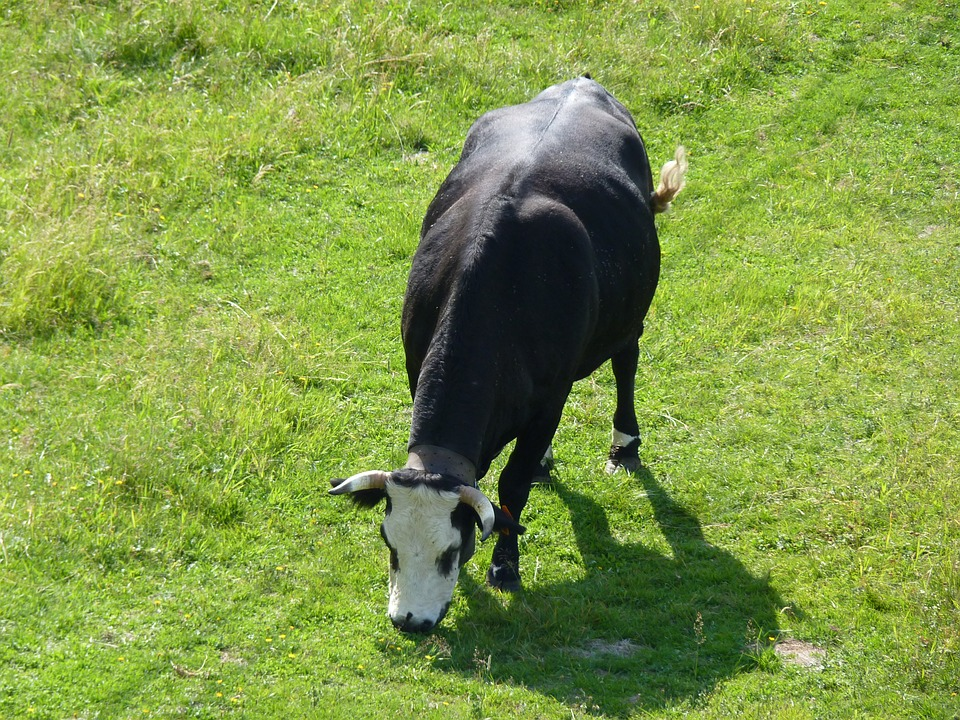 Cow, Nature, Agriculture