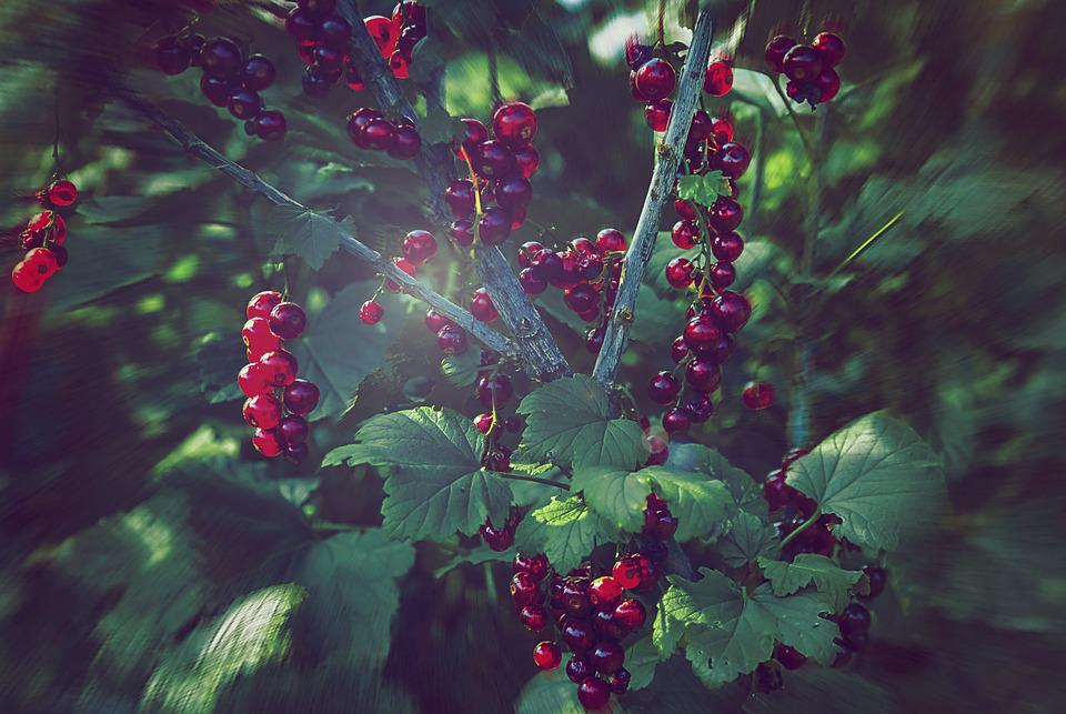Currant, Nature, Vegetable Garden