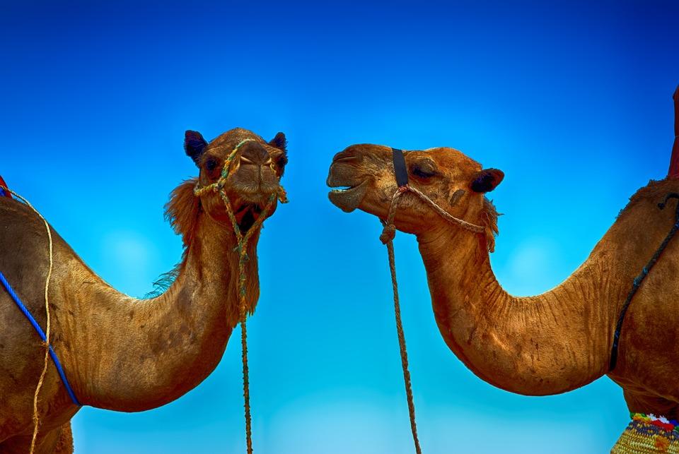 Camel, Animal, Wildlife, Mammal, Wild, Nature, Cute