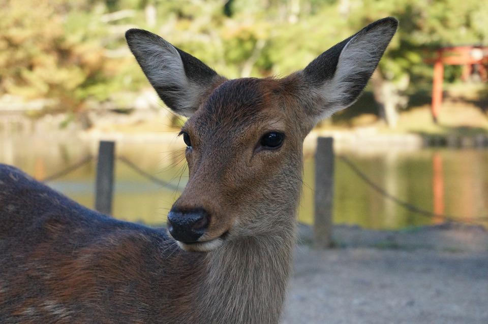 Deer, Nara, Todaiji, Nature, Animal, Cute, Cute Animals