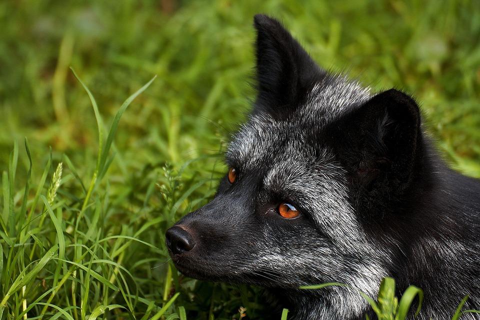 Zoo, Mammal, Nature, Animals, Cute, Predator, Fuchs