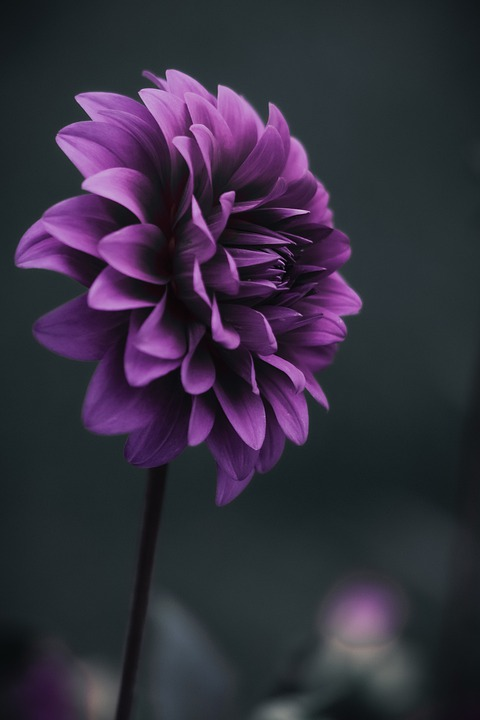 Dahlia, Purple Dahlia, Purple Flower, Nature, Garden