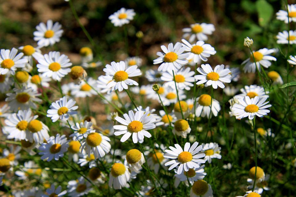 Daisies, Flower, Summer, Bloom, Nature, Blossomed