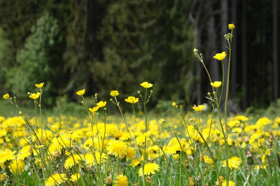 Nature, Flower, Plant, Field, Meadow, Dandelion, Daisy