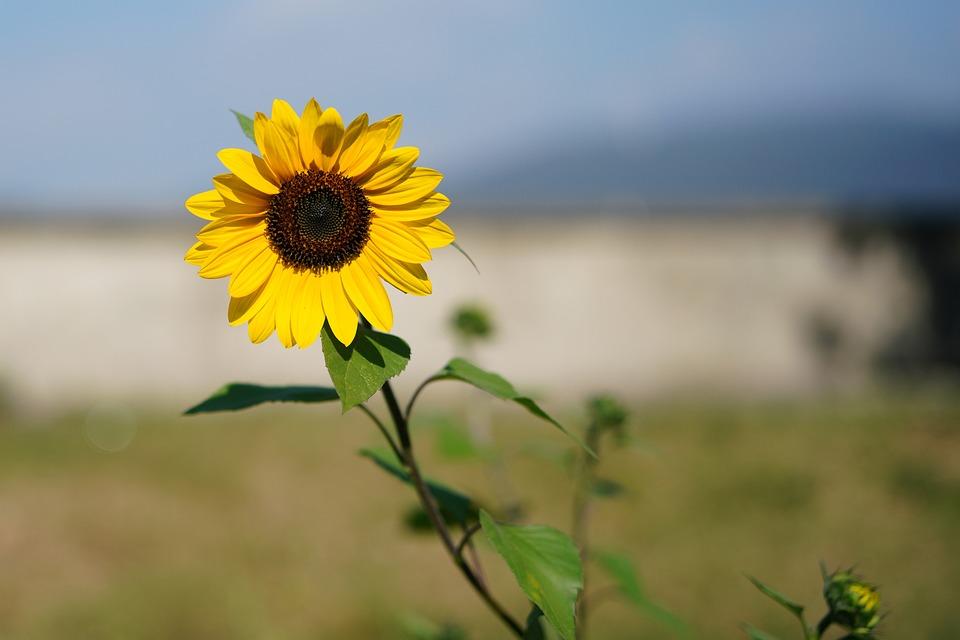 Yellow, Sunflower Seed, Daisy Family, Petal, Nature