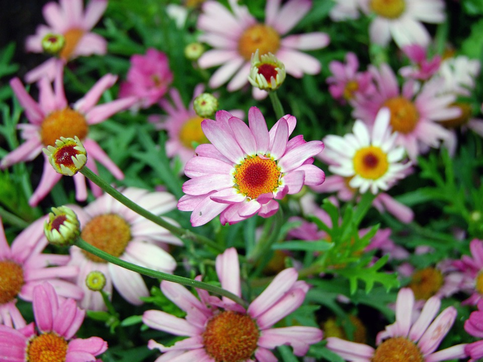 Flowers, Daisy, Pink, Flower Meadow, Nature
