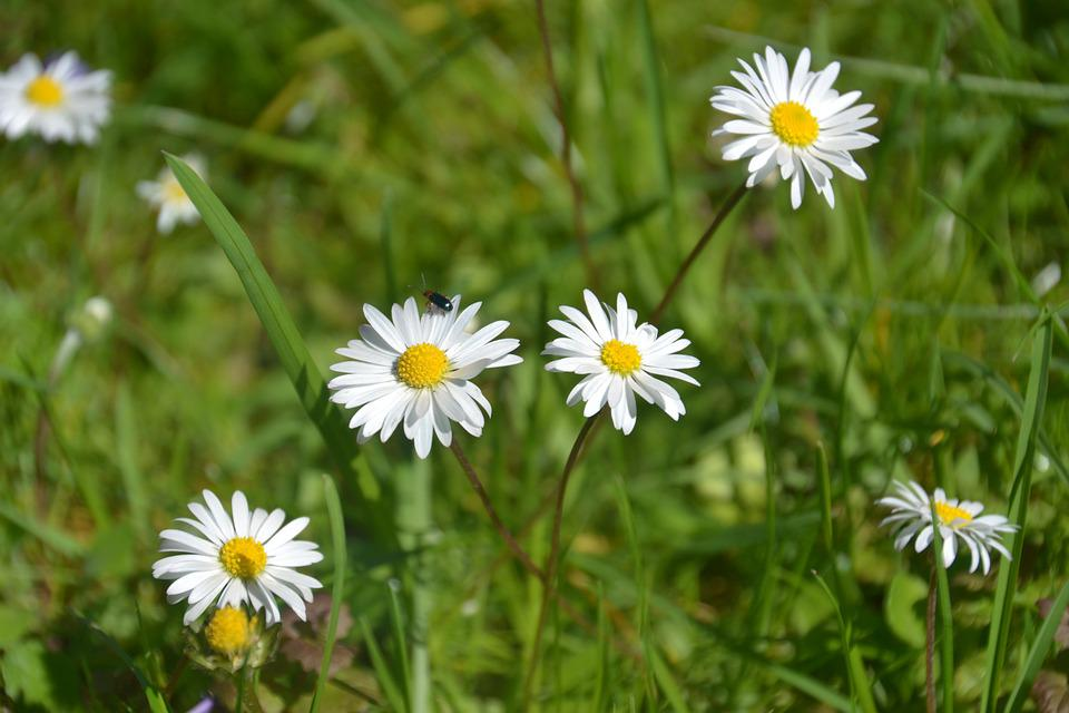 Daisy, Meadow, Spring, Nature, Grass, White, Yellow