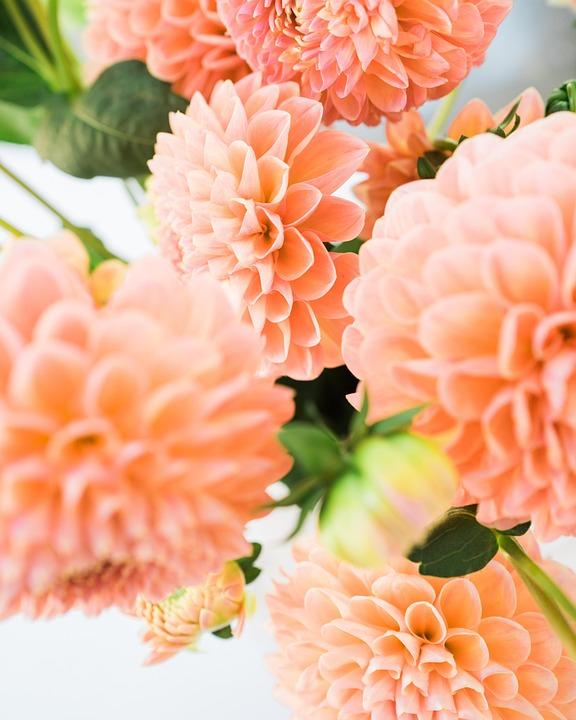 Dalia, Flowers, The Petals, Garden, Nature, Pink, Bloom