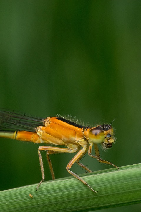 Macro, Damselfly, Nature, Insect, Animal, Wildlife