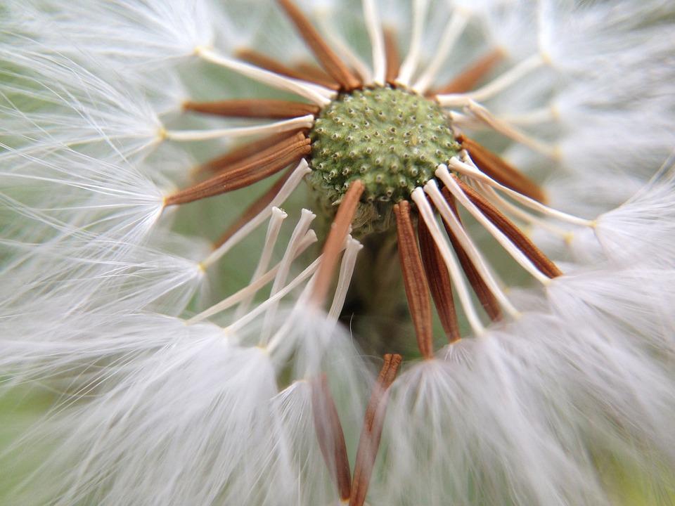 Dandelion, Nature, Light