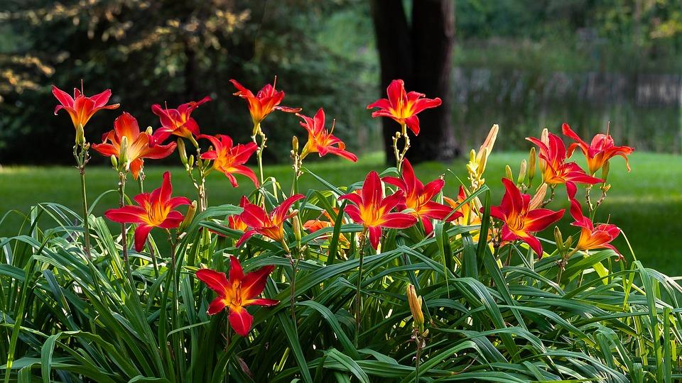 Daylilies, Nature, Hemerocallis, Daylily, Garden